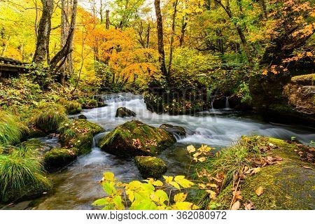 Oirase Mountain Stream Flow Over The Rocks Covered With Green Moss And Falling Leaves In The Colorfu
