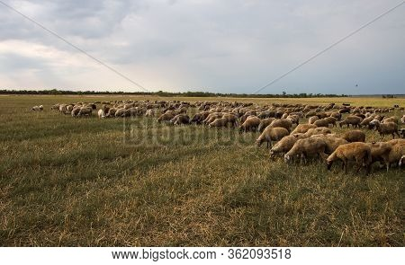 Flock Of Sheep Grazes In Nature. Countryside, Agriculture. Natural Rustic Background. Pet Walk. Sele