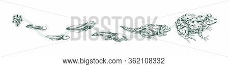 Aquatic Amphibian Life Cycle Black And White Engraved Style. Set Reproduce Transformation Process Of
