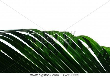 Tropical Coconut Leaves With Branches On White Isolated Background For Green Foliage Backdrop