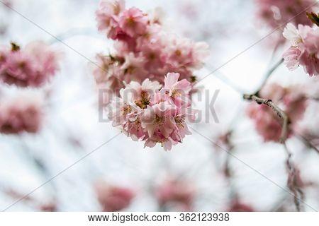Beautiful Close-up Bokeh View Of Beautiful Pink Sakura Branch In Early Spring Cloudy Day. Photo Take
