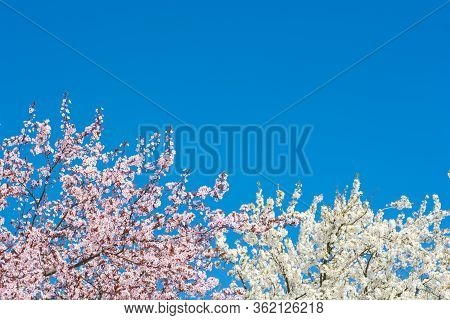 Blooming Cherry Tree On Blue Sky Background. Selective Focus