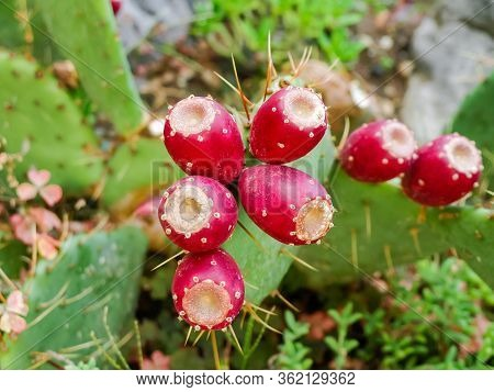 Ripe Red Fruits Of The Coastal Prickly Pear - Subspecies Of Opuntia On The Stems, Top View Close-up