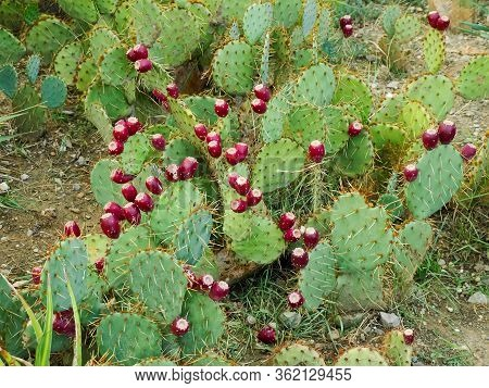 Thicket Of The Opuntia Known As Prickly Pear, Its Subspecies Coastal Prickly Pear With Ripe Red Frui