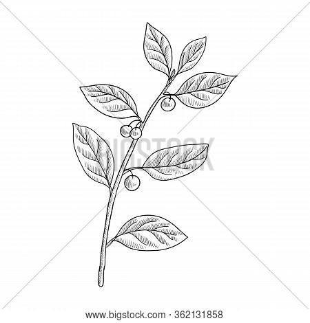 Vector Drawing Alder Buckthorn Branch With Leaves And Berries , Frangula Alnus , Hand Drawn Illustra