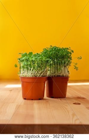 Microgreens Sprouts In Pots. Sprouting Microgreens. Seed Germination At Home. Vegan And Healthy Eati