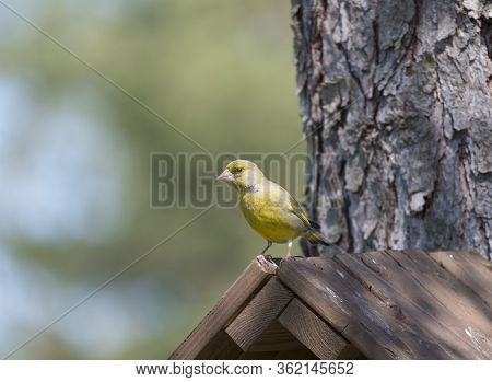 Close Up Male European Greenfinch, Chloris Chloris Sits On Top Of Nesting Box, Birdhouse At Larch Tr