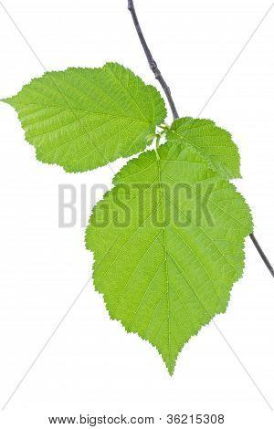 Hazel leaves on white background