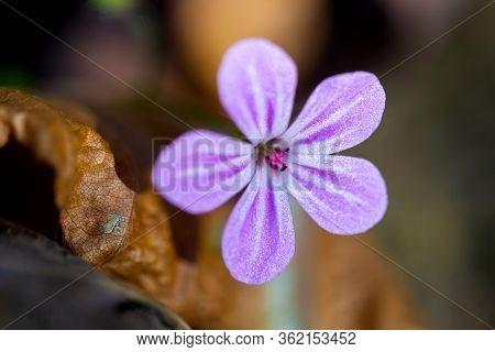 Geranium Robertianum Forest Wild Flower. Low Depth Of Field Macro Photo.