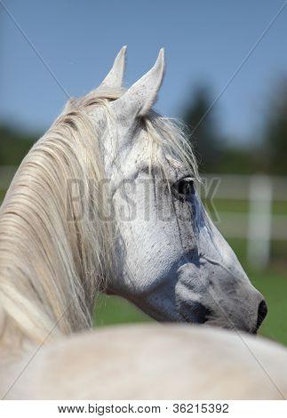 White Andalusian Stallion portrait