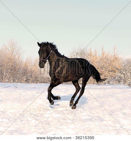 Black horse runs gallop on the snowfield