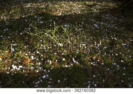 Large Pea Snow Or Hail Lies On A Forest Clearing. On The Sunny Strip You Can See Moss, Spruce Needle