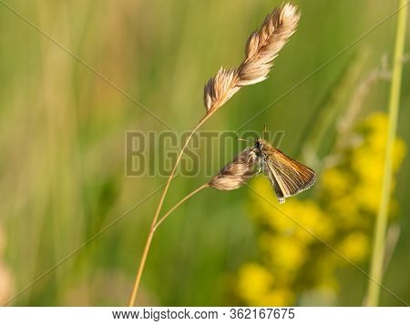 Essex Skipper (thymelicus Lineola) Butterfly On Grass In Meadow, Summer Sunny Day