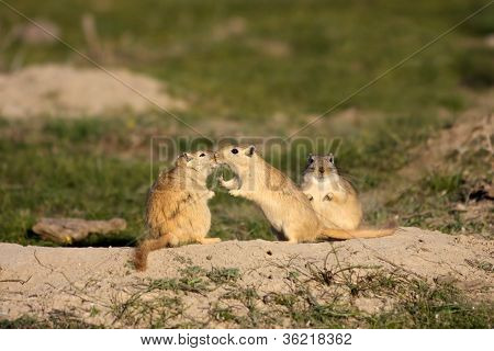 Tenderness of rodents