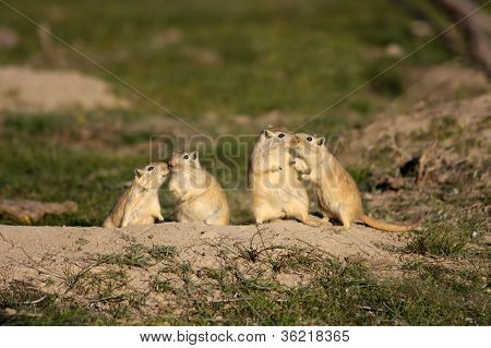 Two romantic pairs of rodents