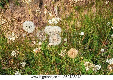Fluffy White Dandelion Flowers On Dry Summer Meadow