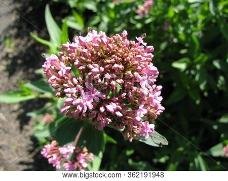 Blooming Centranthus Ruber (red Valerian)plant In A Garden