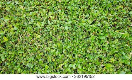 Carmona Retusa Fukien Tea Tree Green Plant Background.green Leaf Small In Garden Outdoor.nature Gras