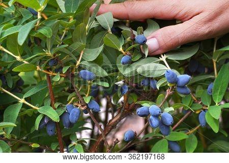 Fruit Presentation. Abundantly Fruiting Kamchatka Berry (lonicera Caerulea) Bush.