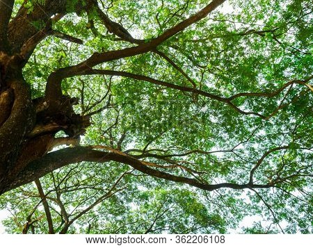 High View Scenery Of Giant Rain Tree.thai Name Chamchuri Tree Or Monkey Pod Tree With Green Leaves