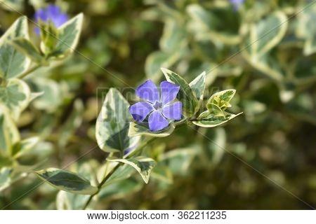 Lesser Periwinkle Variegata - Latin Name - Vinca Minor Variegata