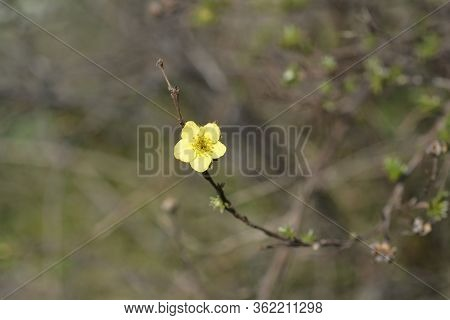Yellow Shrubby Cinquefoil Flower - Latin Name - Potentilla Fruticosa
