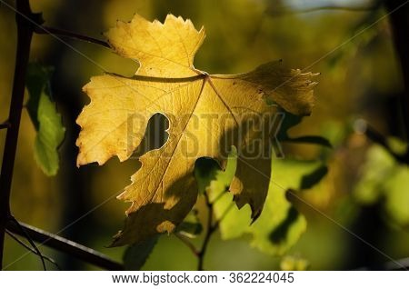 Nebbiolo Grape Variety Leaves After Autumn And Harvest In The Vineyard Of The Barolo Langhe Region,