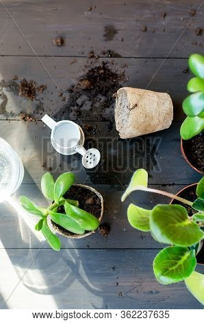 Mini Succulent In A Peat Pot On The Table Afte Transplanting, Household Plants And Many Peat Pots, S
