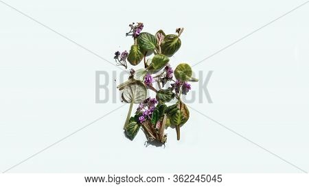 Rotten Withered Violet Flowers With Shadow On White Background. Green Plant On Windowsill In Winter