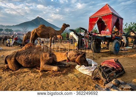Camels at Pushkar Mela Pushkar Camel Fair famous tourist attraction in Pushkar and camel cart, Rajasthan, India