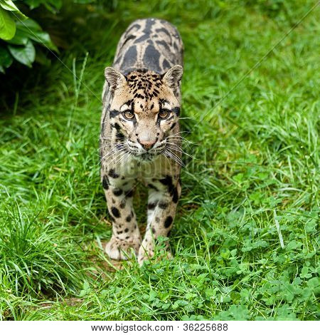 Clouded Leopard Standing On Grass