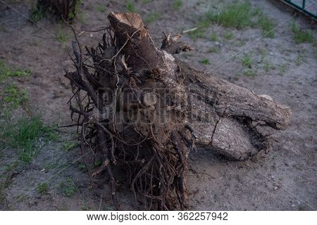 Fallen Tree. Torn Tree Root. A Torn Tree With Roots From Under The Ground Lies On The Ground In Leav