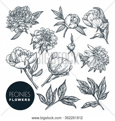 Peonies Flowers Set, Vector Sketch Illustration. Hand Drawn Floral Nature Design Elements. Peony Blo