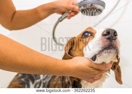 A Beagle Mix Hound Dog Is All Soaped Up In The Bath Tub. The Cute Dog Looks Up And To The Side Anxio