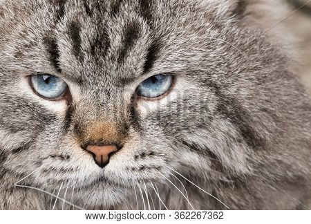 Portrait of blue-eyed male Neva Masquerade Colorpoint cat