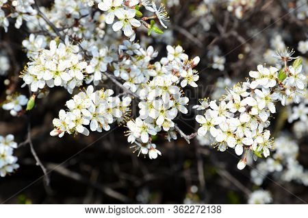 A Branch With An Inflorescence Of Blooming Blackthorn Shot Close-up.
