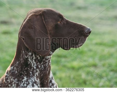 german shorthaired pointer dog hunting