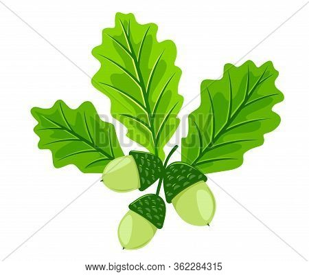 Three Young Light Green Oak Leafs With Acorns Isolated Illustration, Set Of Three Leaves With Green