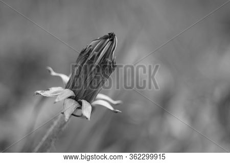 Closed Dandelion Flower Growing In A Spring, Bw Photo.