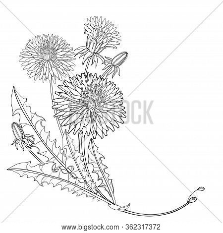 Vector Corner Bouquet Of Outline Dandelion Flower, Bud And Ornate Leaves In Black Isolated On White