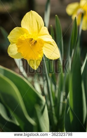 Vertical - Close Up Photo Of Beautiful And Yellow  Daffodil On Sunny Day. Illuminated Narcissus Flow
