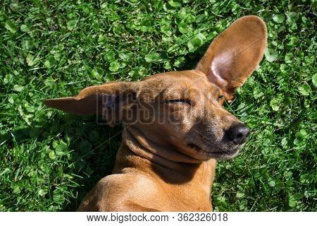 Dachshund Dog Sleeps On The Grass In The Sunny Day.  Happy Dachshund Dog Enjoying The Sunshine In Th