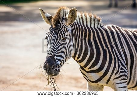 The zoo is important for the conservation of the fauna of New Zealand. The zebra grazes in the aviary of the zoo. The concept of active, ecological and educational tourism