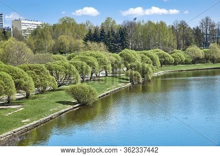 Curly Spring Willows On A City Pond. Spring In The City