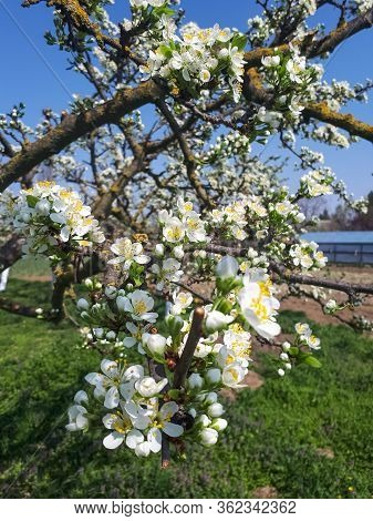 Blossoming Apple Orchard In Spring. Blossoming Apple Orchard In Spring.