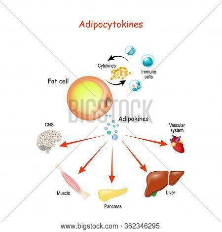 Adipocytokines, Immune Cells And Metabolism. Vector Illustration For Medical, Education And Science