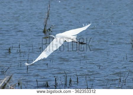 A Graceful And Beautiful White Egret Soaring Gracefully Over The Water Of A Lake Filled With Twigs A