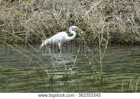 A Solitary White Egret Wading Near The Shore Of A Lake With A Small, Silver Fish That It Just Caught