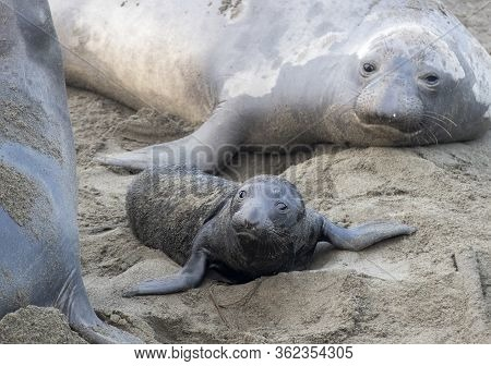 Newborn Northern Elephant Seal Pup And Mother Close Up On The Sand At A California Beach.