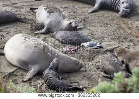Seagull Scavenges Afterbirth On A California Beach Surrounded By Northern Elephant Seals.